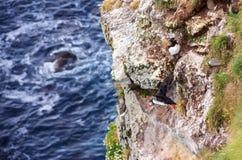 Frailecillo islandés que agita sus alas, deslizándose abajo de la perca del acantilado rocoso en el océano turbulento en la búsqu Imagen de archivo