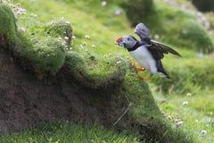 Frailecillo que trae pescados a una jerarquía en la isla de Shetland para sus polluelos foto de archivo
