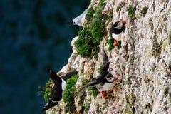 Frailecillos atlánticos encaramados en el acantilado Foto de archivo