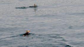 Frailecillos copetudos que nadan en bahía del descubrimiento Imágenes de archivo libres de regalías