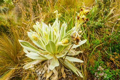 Frailejon Wild Flower Close Up Royalty Free Stock Image