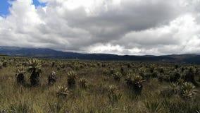 Frailejones Espeletia, i den Purace paramoen i Colombia Endemisken utsatte för fara växter