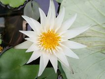 Frais avec le flawer de lotus Photos stock