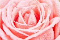 Frais du centre le rose s'est levé avec la baisse de l'eau Images stock