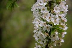 Frais et pur Cherry With Blurs Background blanc de floraison photo stock