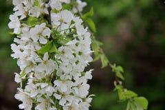 Frais et pur Cherry With Blurs Background blanc de floraison images stock