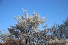 Frais et pur Fleurs blanches de floraison fleurissantes avec le ciel bleu clair photographie stock