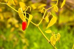 Frais rouge indien chaud et épicé photo stock