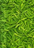 Frais a sélectionné les pousses impeccables vertes photographie stock libre de droits