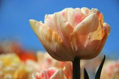 frais Tulipes oranges roses de bourgeonnement avec le ciel bleu sombre photos stock
