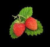 fraise 2 sauvage Image libre de droits