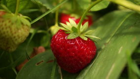 Strawberry After Rain 1 Stock Footage