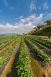 Fraise Berry Farm Images stock