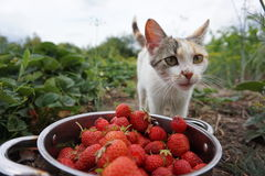 Fraise de chaton Images libres de droits