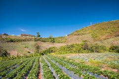 Fraise de ferme en montagne Images stock
