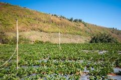 Fraise de ferme en montagne Image libre de droits
