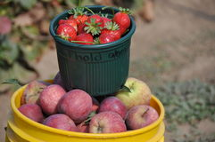 Fraise et pommes sélectionnées par main Photos stock