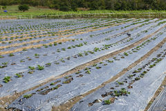 Fraise s'élevant dans la ferme agricole Photos stock