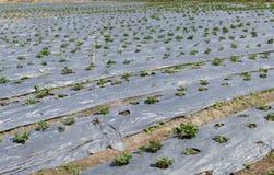 Fraise s'élevant dans la ferme agricole Image libre de droits