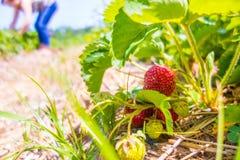 Fraise sur la branche dans la fraise de plantation Images libres de droits