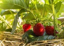 Fraises, baies, feuilles, rosée, nature Photo libre de droits