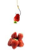 fraises d'amorce photo stock