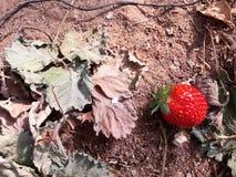 Fraises en serre chaude, sélectionnant le fond de fraises, rouge et vert Images libres de droits