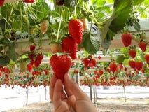 Fraises en serre chaude, sélectionnant le fond de fraises, rouge et vert Photographie stock libre de droits