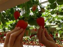 Fraises en serre chaude, sélectionnant le fond de fraises, rouge et vert Photos stock
