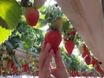Fraises en serre chaude, sélectionnant le fond de fraises, rouge et vert Images stock