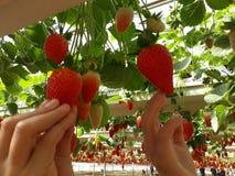 Fraises en serre chaude, sélectionnant le fond de fraises, rouge et vert Photo libre de droits