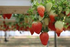 Fraises en serre chaude, sélectionnant le fond de fraises, rouge et vert Photographie stock