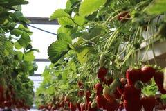 Fraises en serre chaude, sélectionnant le fond de fraises, rouge et vert Image stock