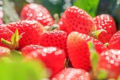 Fraises fra?ches avec la ros?e de matin dans les fonds naturels, ressembler ? un bijou Beau bokeh avec le scintillement Ferme org images stock