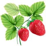 Fraises mûres rouges avec les feuilles vertes Photos libres de droits