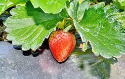 Fraises organiques fraîches Photo libre de droits