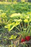 Fraises rouges et mûres dans le jardin Image stock