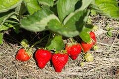 Fraises rouges et mûres dans le jardin Images stock