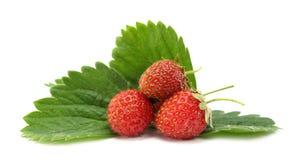 fraises sauvages Photos stock
