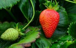 fraises sur une branche Images stock