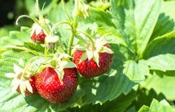 fraises sur une branche Photographie stock libre de droits