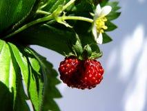 fraisier commun Images stock