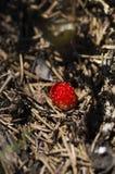 Fraisier commun parmi des aiguilles et des fourmis de pin dans la fourmilière Images stock