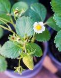 Fraisier fleurissant dans un pot Photo libre de droits