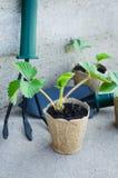 Fraisiers avec des outils de jardinage Photos libres de droits
