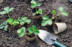 Fraisiers avec des outils de jardinage Photo libre de droits