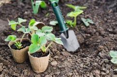 Fraisiers avec des outils de jardinage Image stock