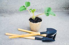 Fraisiers avec des outils de jardinage Photos stock