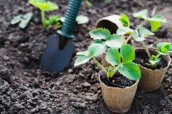 Fraisiers avec des outils de jardinage Image libre de droits