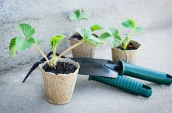 Fraisiers avec des outils de jardinage Photographie stock libre de droits